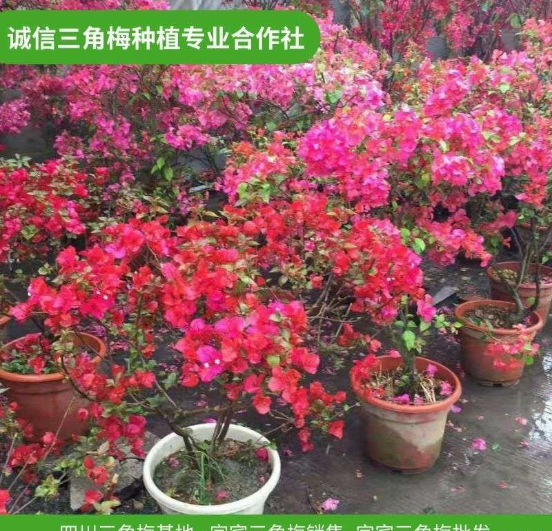 三穗三角梅盆栽行情,造型三角梅价钱-诚信经营