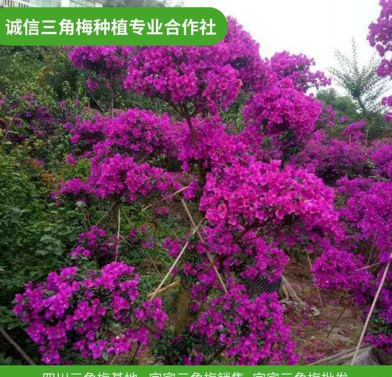 保山供应紫花三角梅价钱,直销造型三角梅-原来在这里