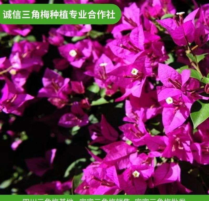兴县三角梅盆景怎么样,红色三角梅