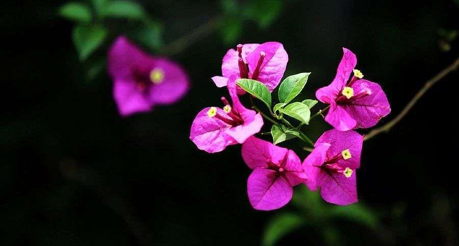 前锋红花三角梅品牌,正品紫花三角梅