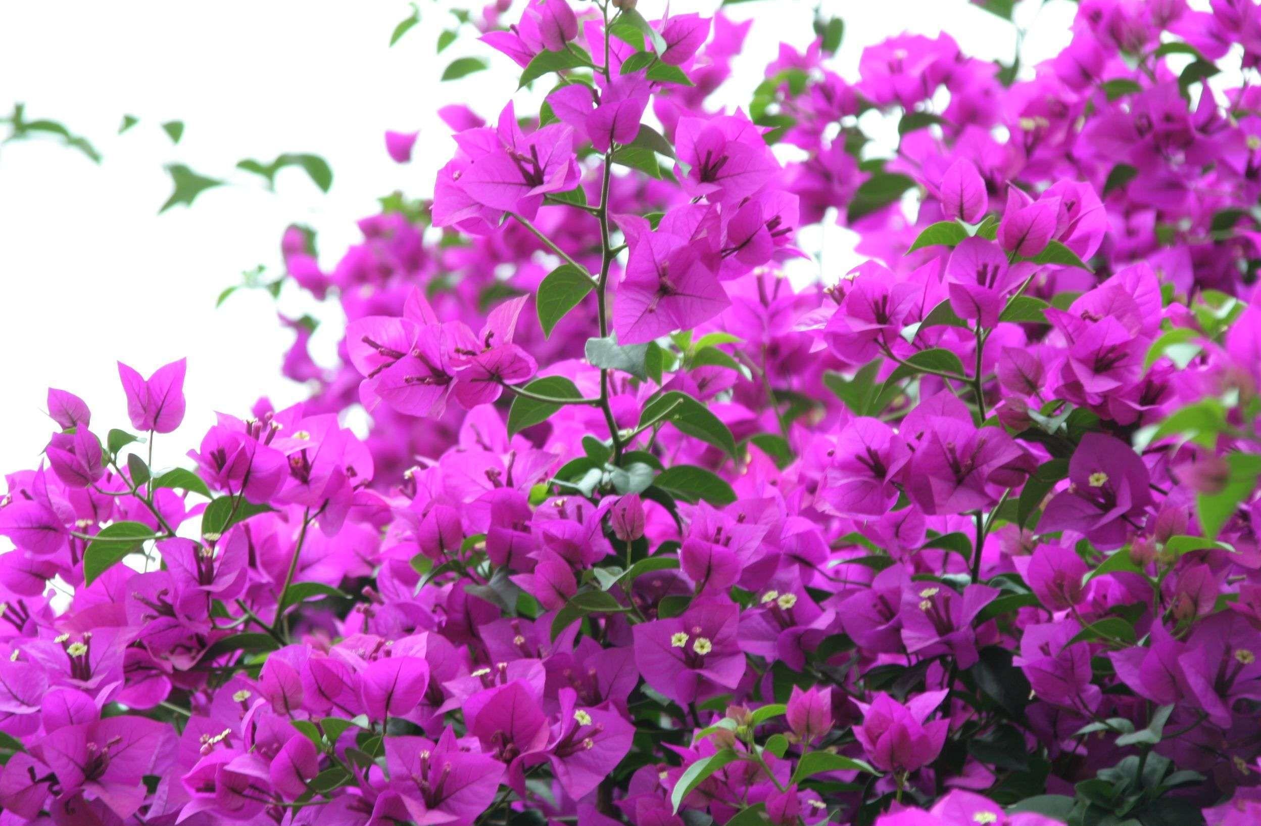 大同正品盆栽三角梅排行,红花三角梅品牌-以客为尊