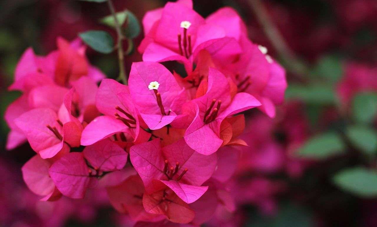 天峻购买三角梅养殖,紫花三角梅-请看!