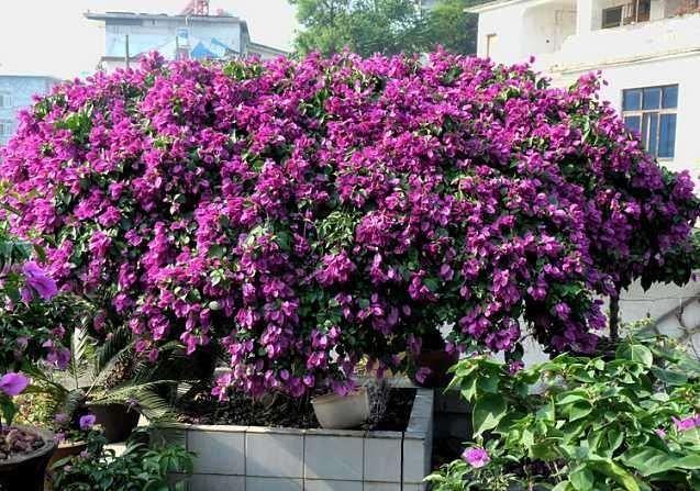 吴堡供应紫花三角梅品种,三角梅厂家