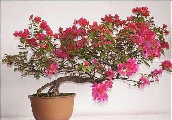 天峻正品三角梅盆栽价格,批发红花三角梅
